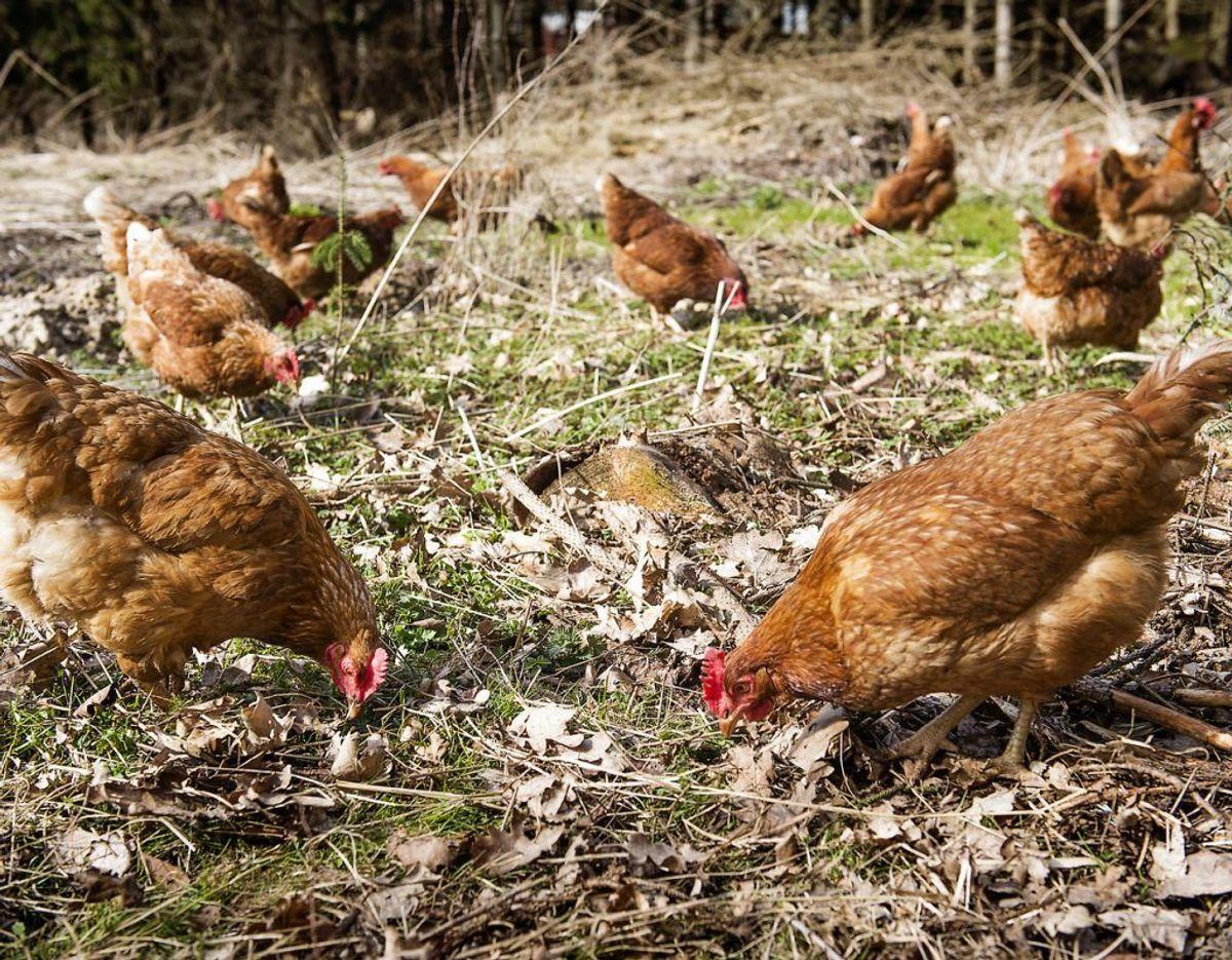 Hønsene kan gå frit rundt på et stort areal i dagtimerne, men bevæger sig ind i hønsegården sidst på eftermiddagen. Foto: Scanpix.