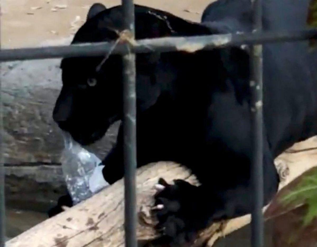 Den store kat blev distraheret med en vandflaske. Den slap kvinden, der blev hjulpet væk af andre gæster. Foto: Scanpix/Adam Wilkerson Reuters. KLIK VIDERE OG SE DE VOLDSOMME SKADER.