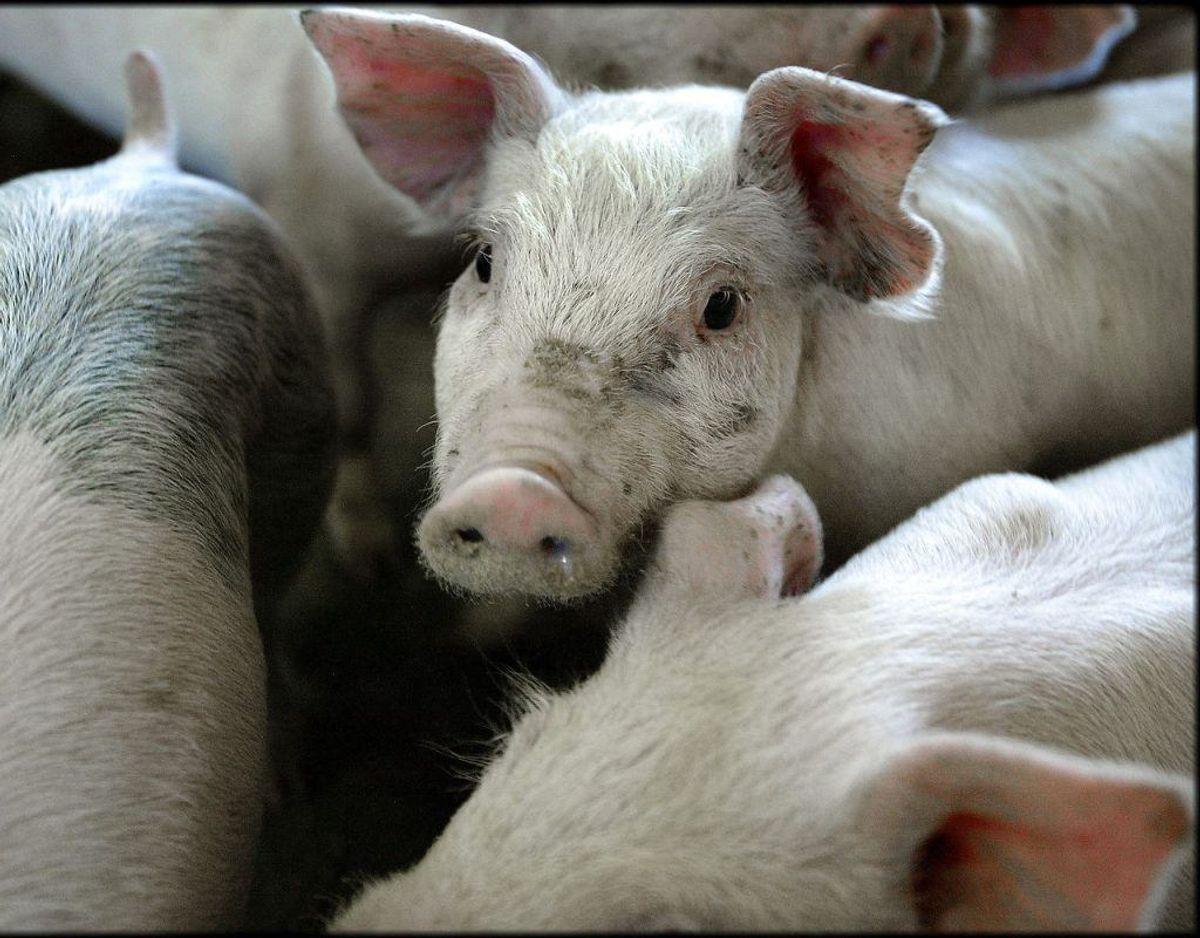 MRSA trives fint hos danske grise. Foto: Henning Bagger/Ritzau Scanpix.