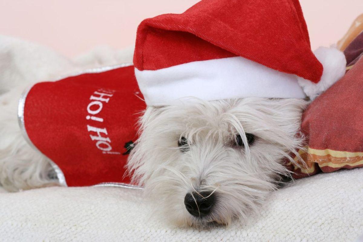 Det kan godt være spændende for dyr med alt det julepynt og julestads, men man skal være opmærksom. KLIK VIDERE og se, hvad en hund slet ikke må spise. Foto: Colourbox