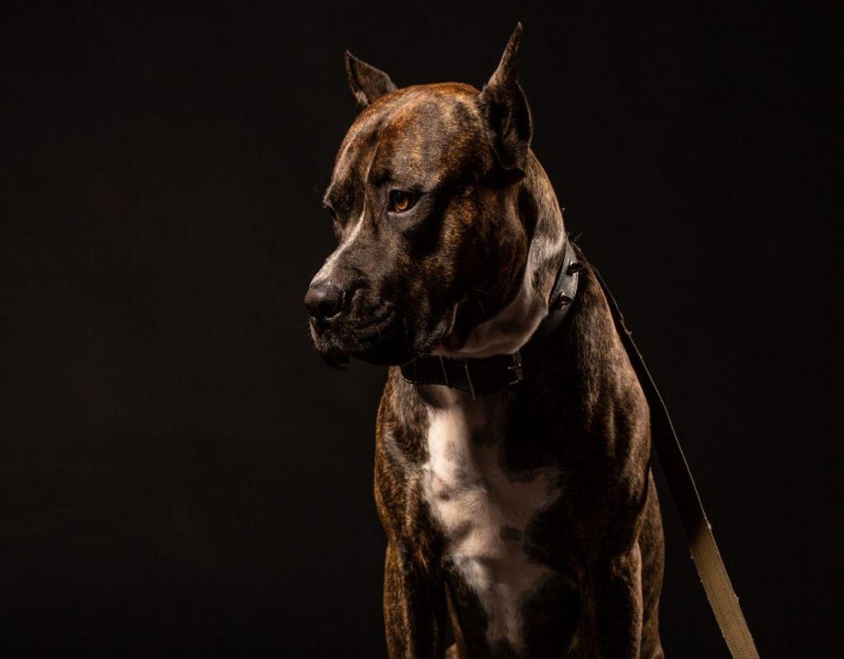 På billedet ses en Staffordshire Bull Terrier. Det er endnu uvist, om det er den race eller en Amerikansk Staffordshire Terrier. Foto: Colourbox