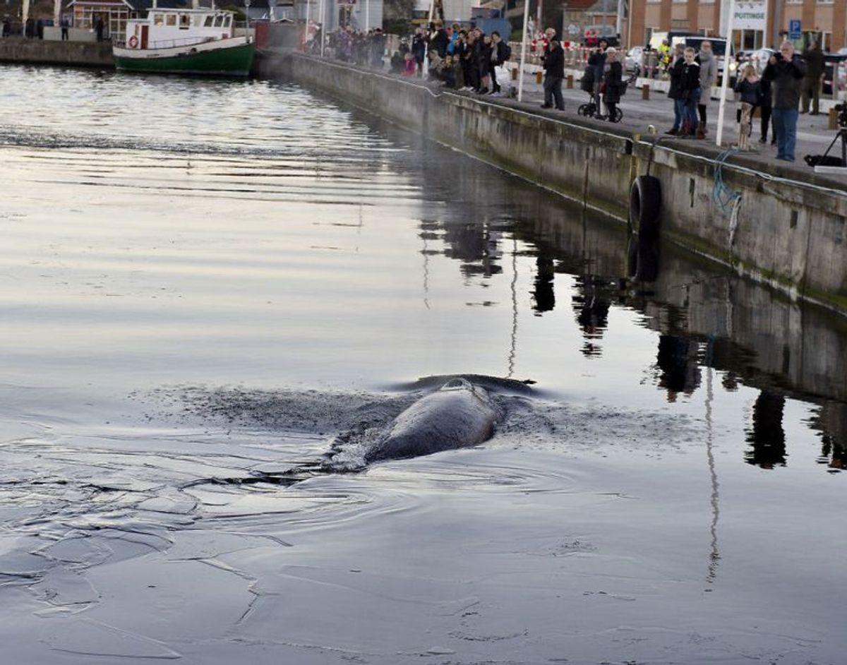 En hval svømmer rundt i den indre havn i Hobro, tirsdag 27.november 2018.  (Foto: Henning Bagger/Ritzau Scanpix)