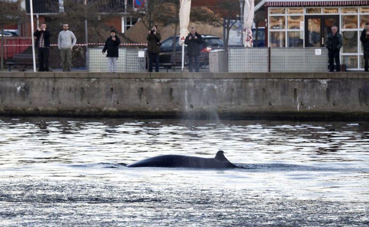 En hval svømmer rundt i den indre havn i Hobro, tirsdag 27.november 2018.. (Foto: Henning Bagger/Ritzau Scanpix)