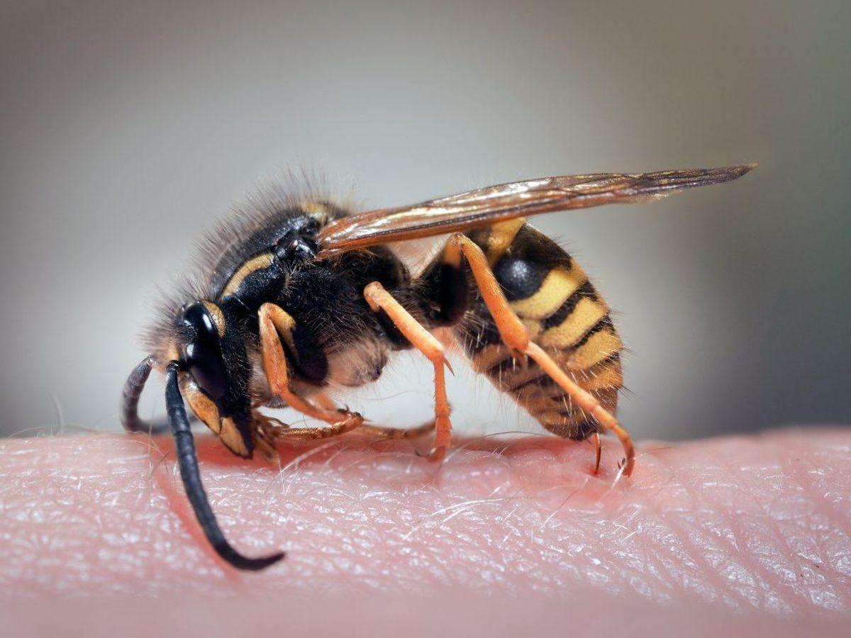 Selvom mange forveksler dem, er der forskel på bier og hvepse. Fælles for dem er dog, at de begge stikker. KLIK VIDERE OG SE, HVAD GØR,, HVIS DU ER BLEVET STUKKET.