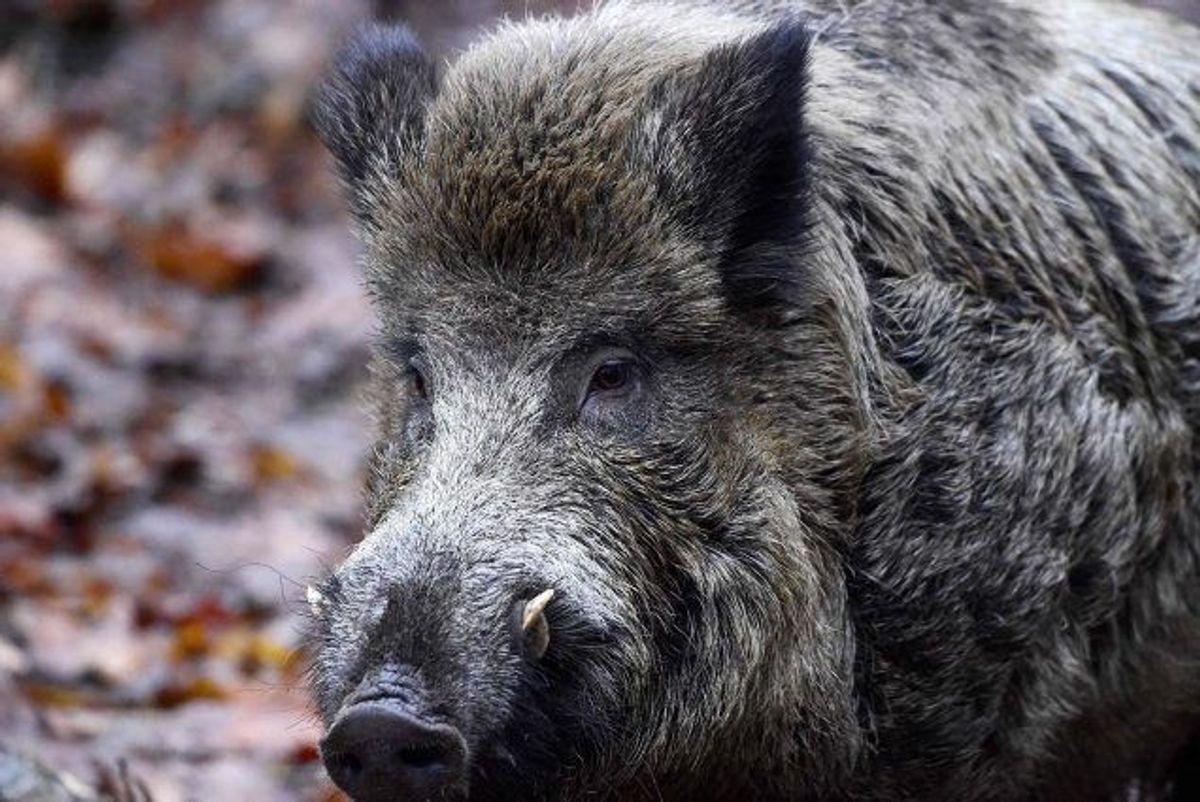 35 vildsvin er i løbet af sommeren set i et område i Himmerland, og det har nu fået Naturstyrelsen til at melde en formodet udsætning til politiet. Foto: Tobias Schwarz/arkiv/AFP