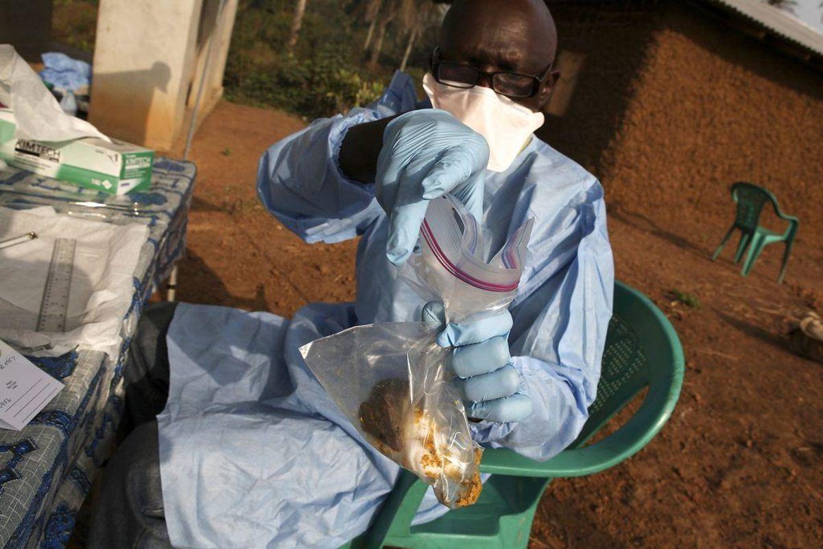 En gnaver med lassa-feber fanget i Sierra Leone. 300-500.000 får årligt sygdommen, og omkring 5000 dør. Primært i Afrika syd for Sahara. (Foto: Scanpix)