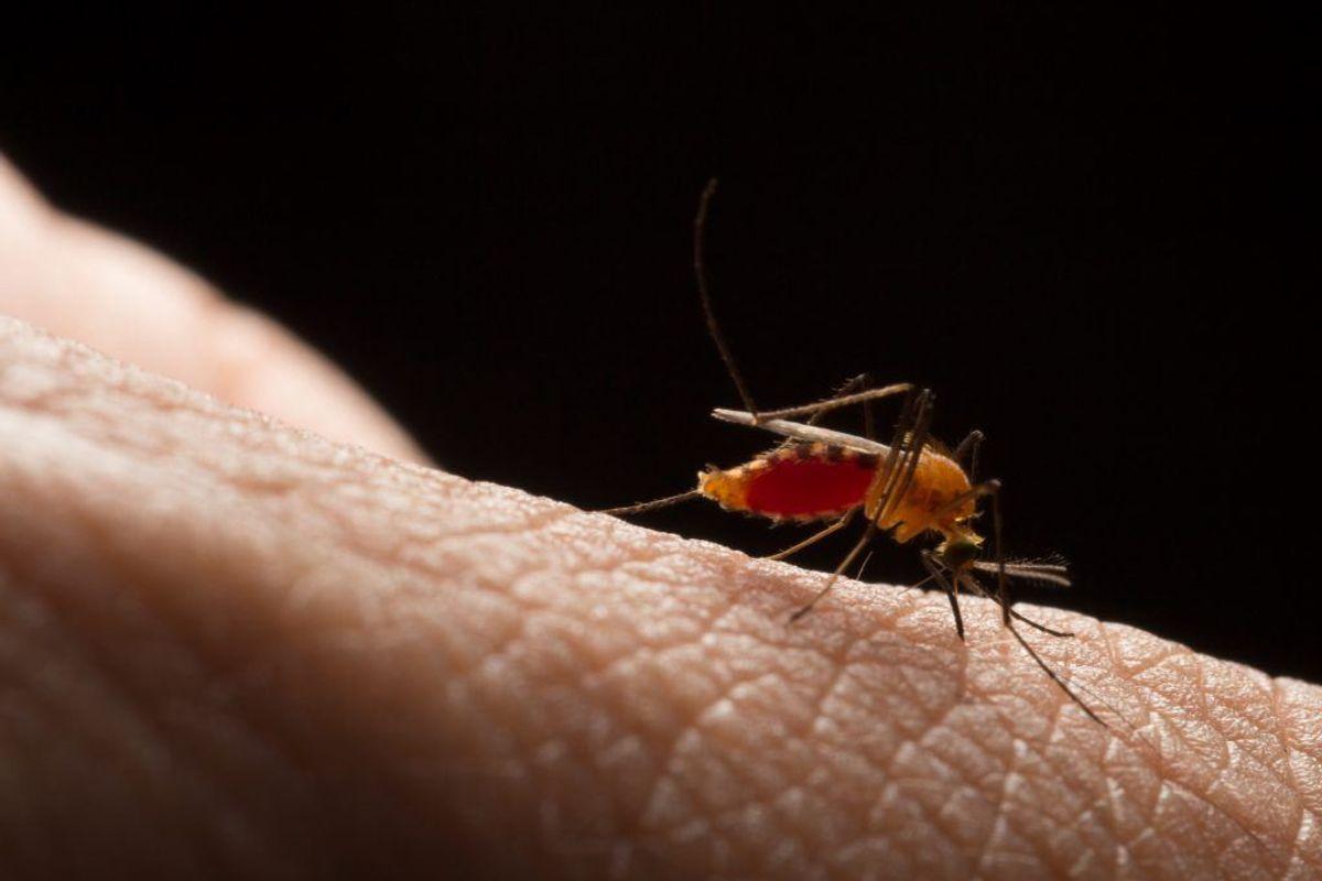 Rift Valley feber er en myggebåret sygdom, der forekommer i Afrika. I 2018 er 26 mennesker blevet smittet med sygdommen i Kenya. (Foto: Shutterstock)