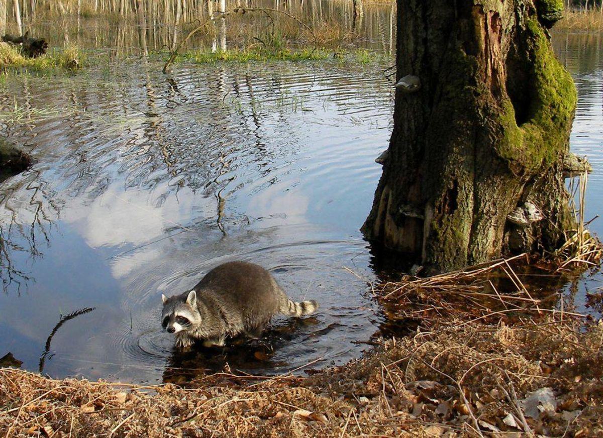 Vaskebjørnen må også se sig forvist. Foto: Gaby Müller/Wikimedia Commons