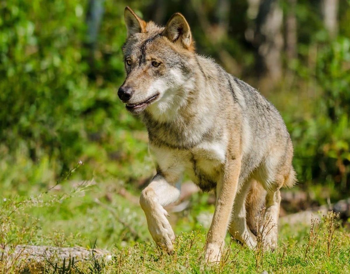Mikkel Stelvig fortæller, at ulven kan være farlig for mennesker på lige fod med andre dyr. Hvilket vil sige, at vi danskere i udgangspunkt skal frygte ulven på samme måde som en hund. Foto: Scanpix. KLIK VIDERE OG SE HVOR BANGE DU BØR VÆRE FOR ANDRE DYR I DANMARK HVAD MED HUNDEN?