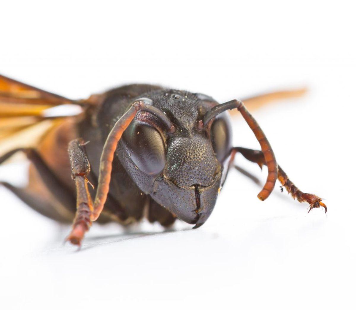 Bi- og hvepsestik: Et enkelt bi- eller hvepsestik er som oftest ikke farligt for hunde. Smerten kan behandles med koldt omslag – fx med is i et viskestykke – og man kan forsøge at fjerne brodden, hvis den stadig sidder der. Dog kan flere, gentagne stik eller stik i munden gøre hunden dårlig eller udløse en allergisk reaktion, hvor der kan være brug for en dyrlæge. Foto: Colourbox (Modelfoto)