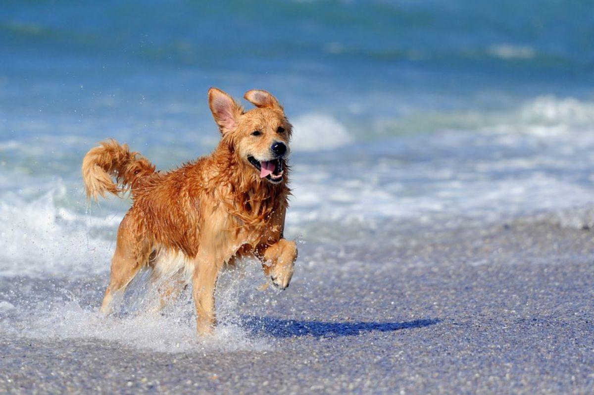 """Vandhale/Watertail: """"Vandhale"""" er betegnelsen for en betændelse i halen, der opstår, hvis hunden i længere tid er kold eller nedkølet på bagdelen. Vandhale resulterer oftest i et besøg hos dyrlægen, da det er meget smertefuldt for hunden. Du kan lindre ved at give hunden varme og hvile. Betændelsen forebygges som fugteksem ved at tørre hunden grundigt efter alle former for vandleg og bad. Undgå, at hunden får træk, når den har været våd. Foto: Colourbox (Modelfoto)"""