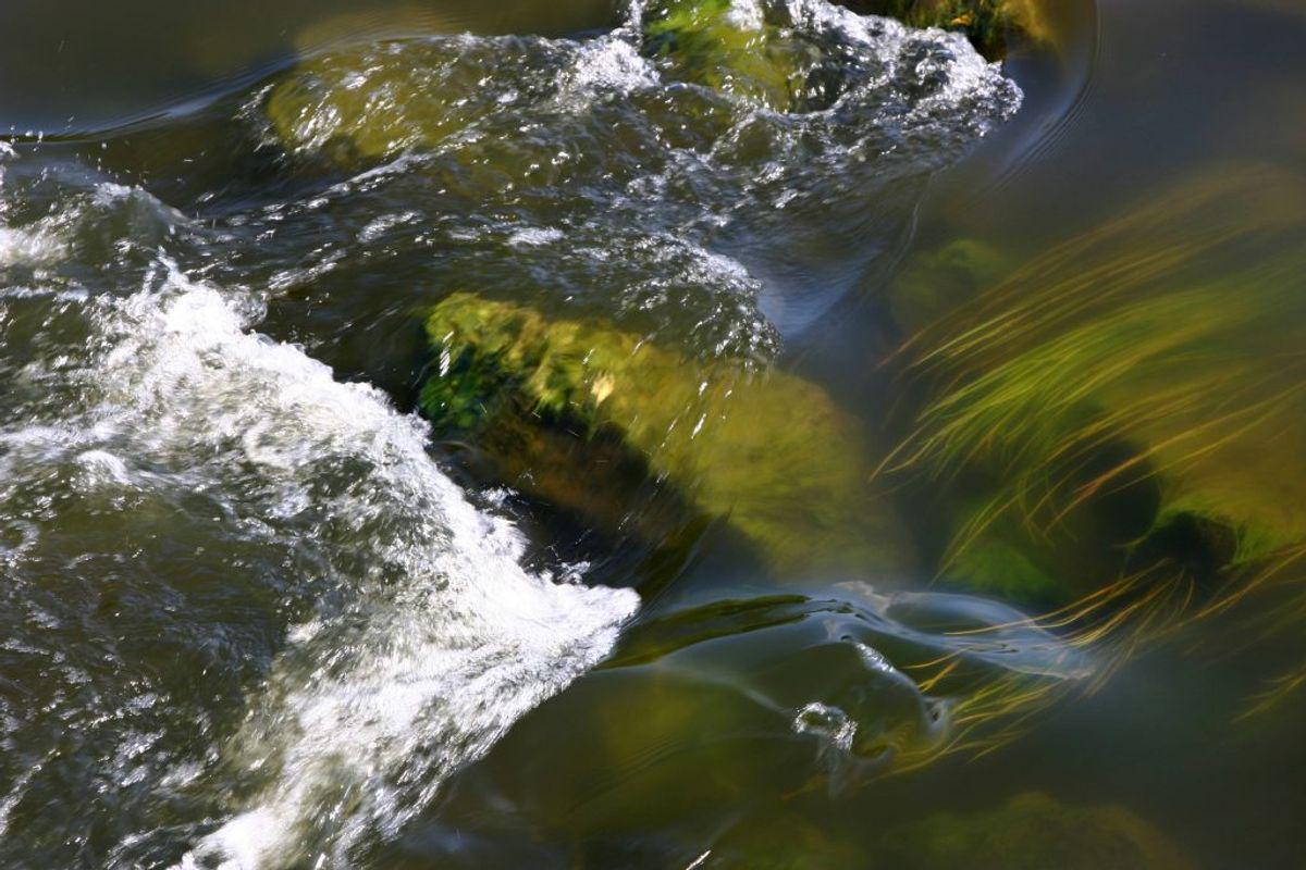 Algeforgiftning: Hvis din hund bader i vand med mange alger, er der risiko for algeforgiftning. Det er derfor bedst at undgå algefyldt vand så vidt muligt. Hvis din hund alligevel hopper i vandet, skal du undgå, at den efterfølgende slikker sin pels og straks tage den til dyrlæge. Symptomerne på algeforgiftning vil typisk være, at hunden er urolig, ryster, kaster op eller går slingrende. Foto: Colourbox (Modelfoto)