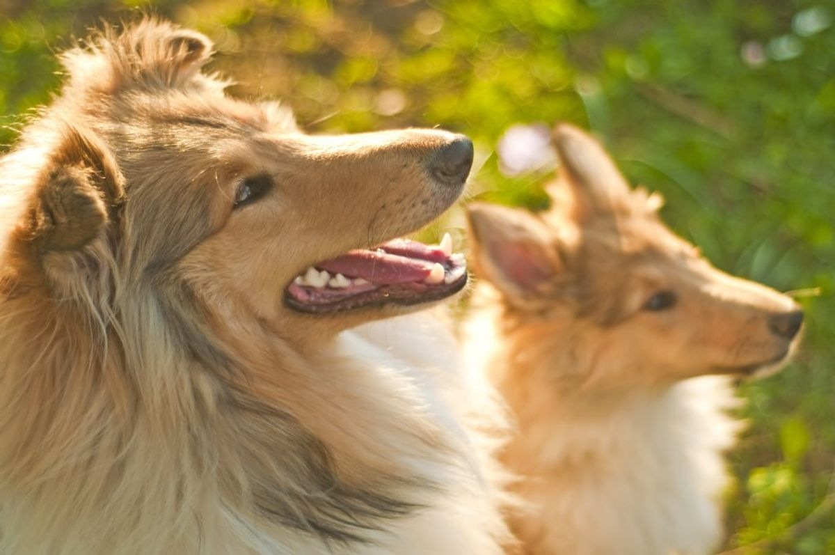 Solskoldning: Ligesom mennesker har hunde også brug for at beskytte sig mod solens stråler. Af denne grund er det vigtigt, at din hund altid har mulighed for at lægge sig i skyggen. Hunde med tynd eller hvid pels bliver lettere solbrændte, og deres hund kan blive rød og øm. Du kan forebygge solskoldning med solcreme på de mest udsatte steder; snude, ører, mave og pung. Vigtigst er, at hunden har adgang til skygge. Foto: Colourbox (Modelfoto)