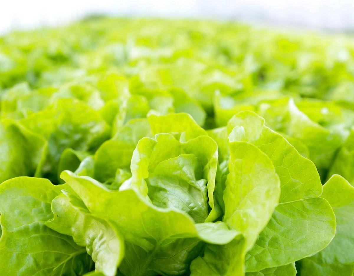 Salat i fryseren er heller ikke en god idé. Det bliver ganske enkelt dårligt. Vandholdige grøntsager skal heller ikke fryses. De bliver smattede. Foto: Scanpix