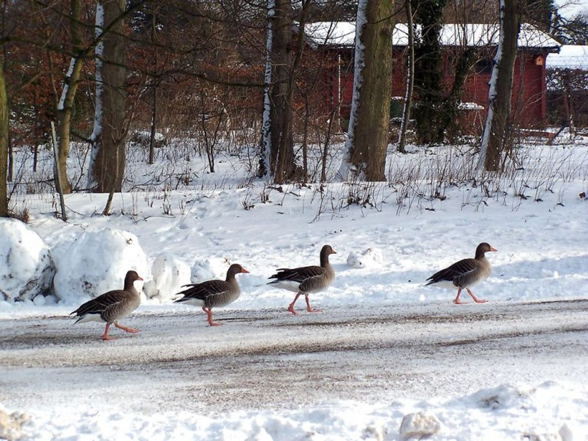 Søde er de – men de kan også være farlige – i hvert fald hvis man bremser for dem på motorvejen. Foto: Scanpix.