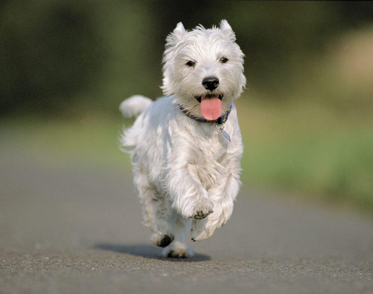 Forsikringsselskaber har termen 'fra hund og op'. Det betyder, at her 'må' du gerne bremse – og den bagfrakørende får altså skylden, hvis du bliver ramt. Foto: Colourbox.