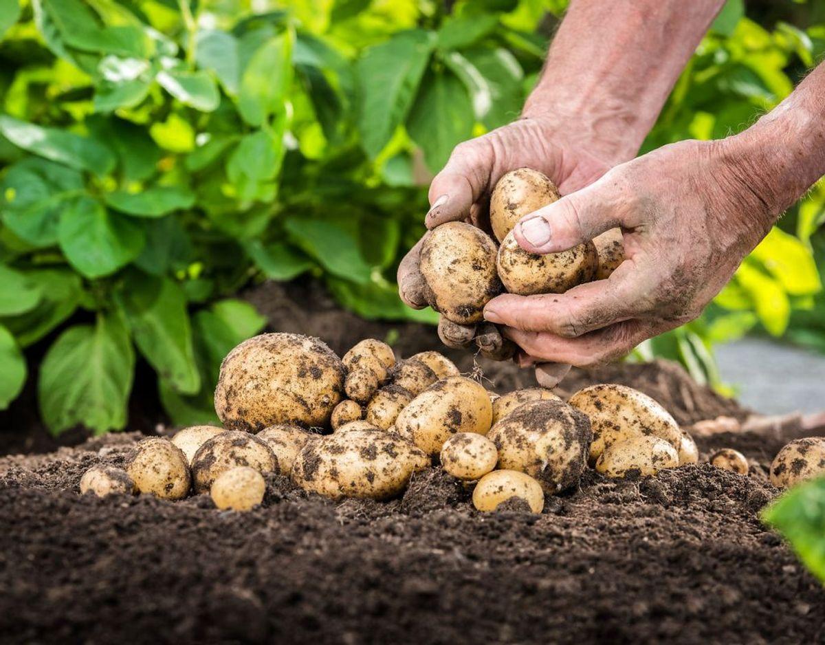 Følgende er generelt for kartofler: De danner ekstra meget giftstof, når de er beskadigede, fordi kartofler tror, at de er under angreb. Hvis kartoflen er frisk og ubeskadiget, kan man sagtens spise skrællen, da den indeholder vitaminer og fibre.