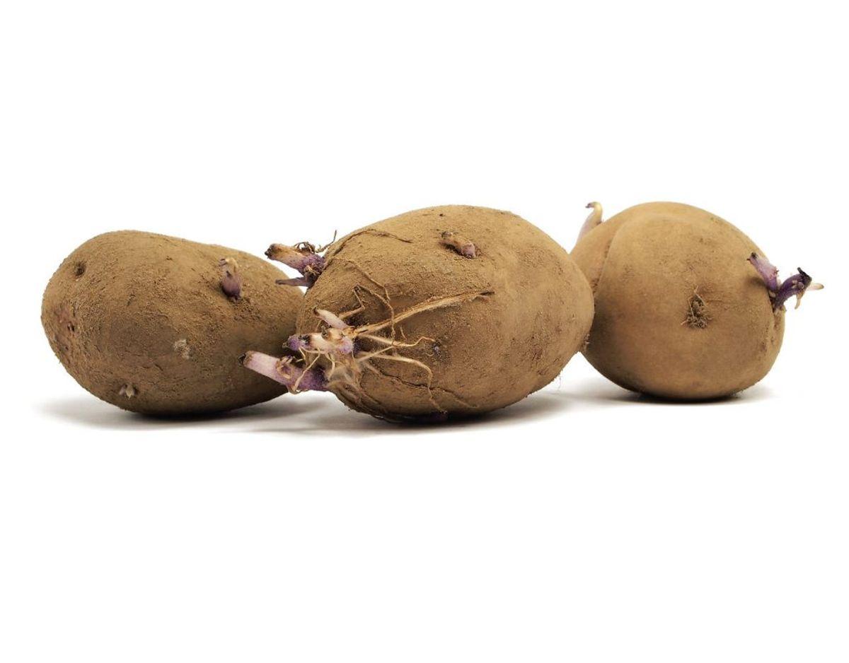 Spirer på kartofler indeholder meget høje niveauer af glykoalkaloider, så hvis kartoflen ikke er grøn, kan du godt spise den – du SKAL bare fjerne spirer inden.
