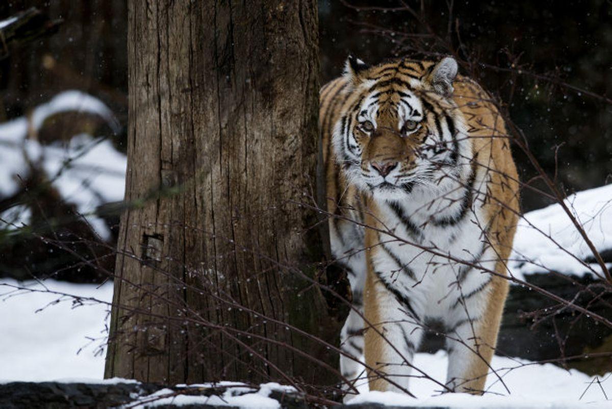 Zoologisk Haves nye russiske hantiger har dræbt den ene af havens to huntigre i et slagsmål. Foto: Liselotte Sabroe/arkiv/Scanpix