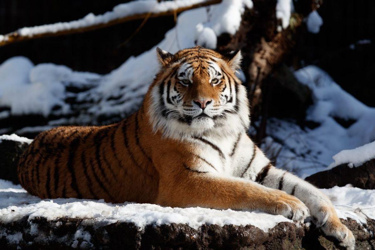 Tigrene i Zoo er amurtigre, og de bliver som regel mellem 100 og 300 kilo tunge, mellem 140 og 280 centimeter høje og lever typisk 15 til 20 år. Foto: Københavns Zoo