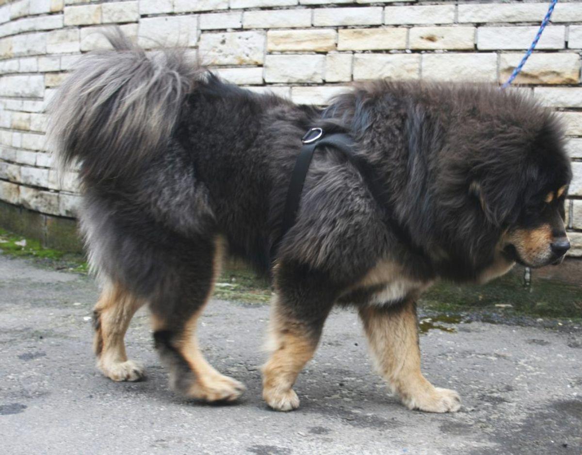 Det er en hund som denne – en Tibetansk Mastiff – en betjent skød og sårede. Den leder politiet efter og adavere samtidig borgerne om at tage kontakt. Den har nemlig bidt før. KLIK for flere billeder. Foto: Wikimedia Commons/Pleple2000.