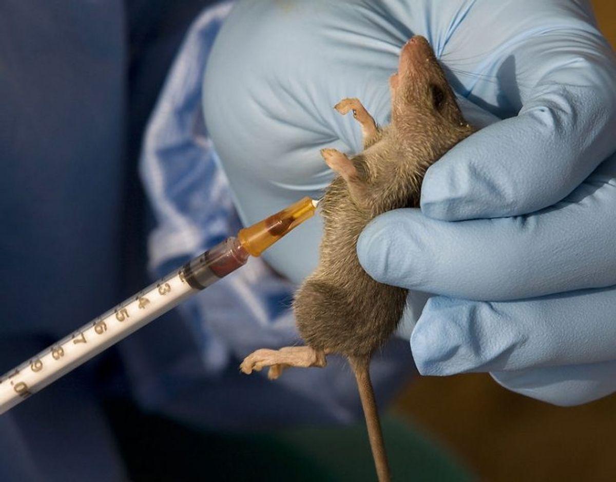 Lassafeber: Lassafeber er en såkaldt viral hæmoragisk feber, som overføres fra rotter Sygdommen forekommer kun i Vest- og Centralafrika Sygdommen er mild eller giver ingen symptomer hos hovedparten af de smittede, mens cirka 20 % udvikler livstruende sygdom, som rammer flere forskellige organsystemer, typisk blødning fra mavetarmkanal og luftveje. Foto: Scanpix