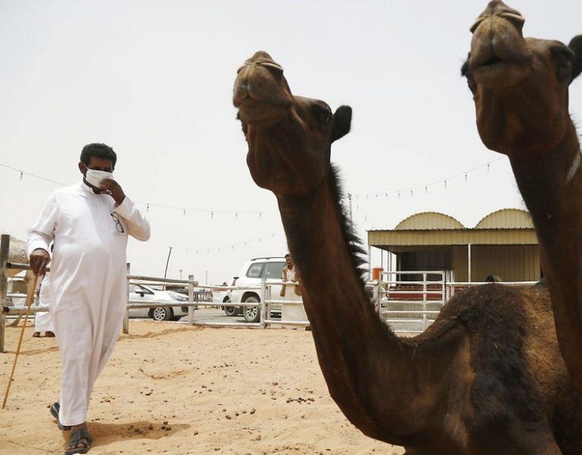 MERS: MERS coronavirus (MERS-CoV) infektion blev første gang observeret i Saudi Arabien i september måned 2012. Smittekilden til sygdommen er fortsat ukendt. Kameler (dromedarer) er formodede bærere af MERS-CoV og medvirker formodentlig i smittekæden. MERS-CoV smitter fra person-til-person, og størstedelen af smittede er smittet af andre personer, hovedsageligt på hospitaler, eller af tætte familiemedlemmer. Dødeligheden blandt rapporterede tilfælde af MERS er ca. 35 %, og hovedparten af de alvorligste tilfælde er set hos patienter, som i forvejen har kronisk sygdom. Foto: Scanpix