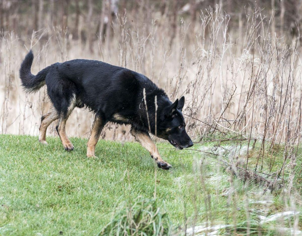 Ingen af de mange hunde fandt afgørende spor efter den forsvundne kvinde. Foto: Martin Sylvest/Scanpix.