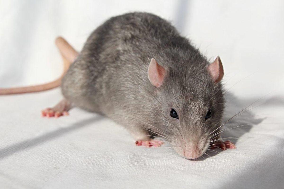 Rotter bliver taget alvorligt i Horsens. Genrefoto: Scanpix.