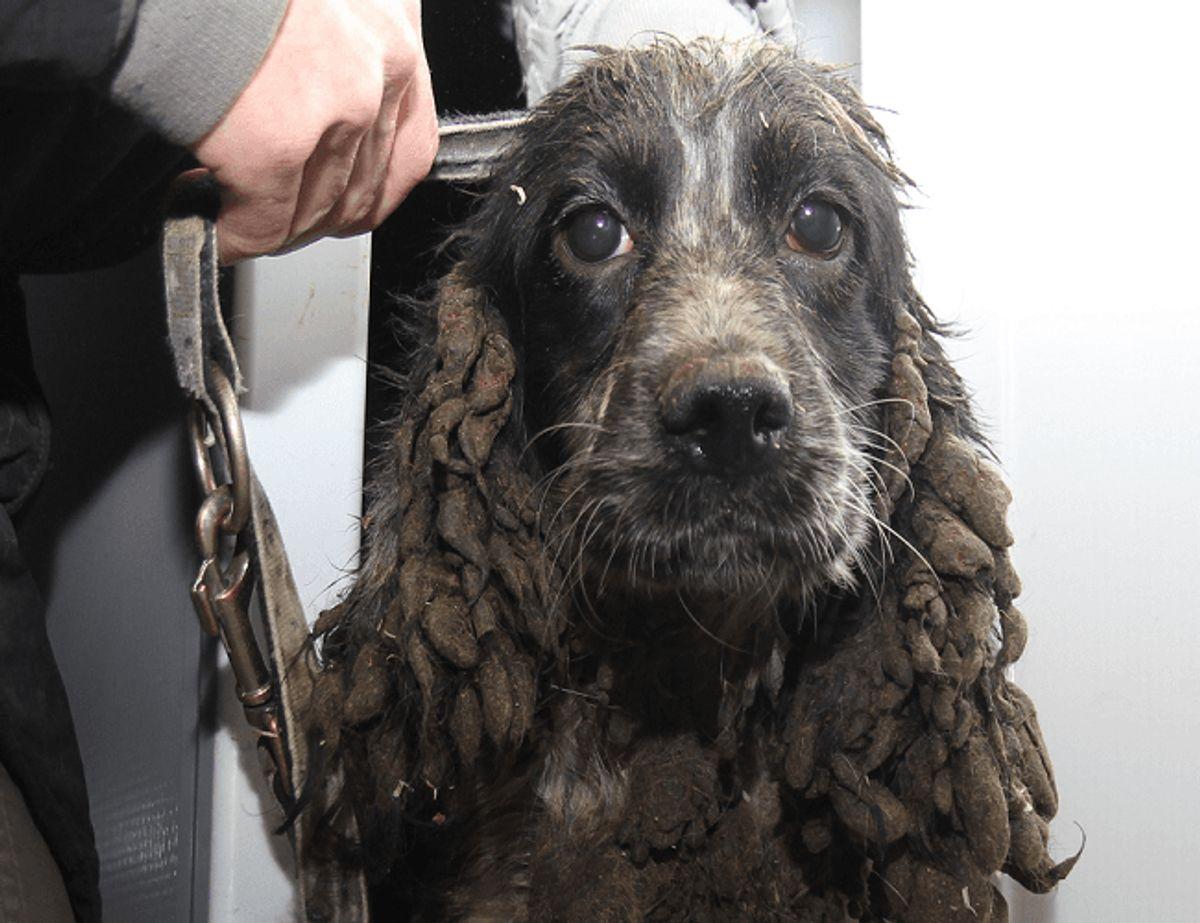 En af de hunde, der blev fundet. Bemærk afføringen på ørerne. Klik videre og se flere billeder af de fundne hunde. Foto: Dyrenes Beskyttelse.