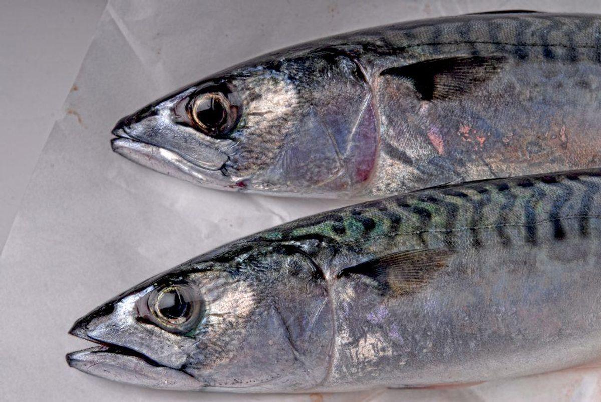 Fisk: Tun, makrel, sild, rejer, torskerogn og laks er alle gode fisk at spise til frokost. Foto: Colourbox.com (Modelfoto)