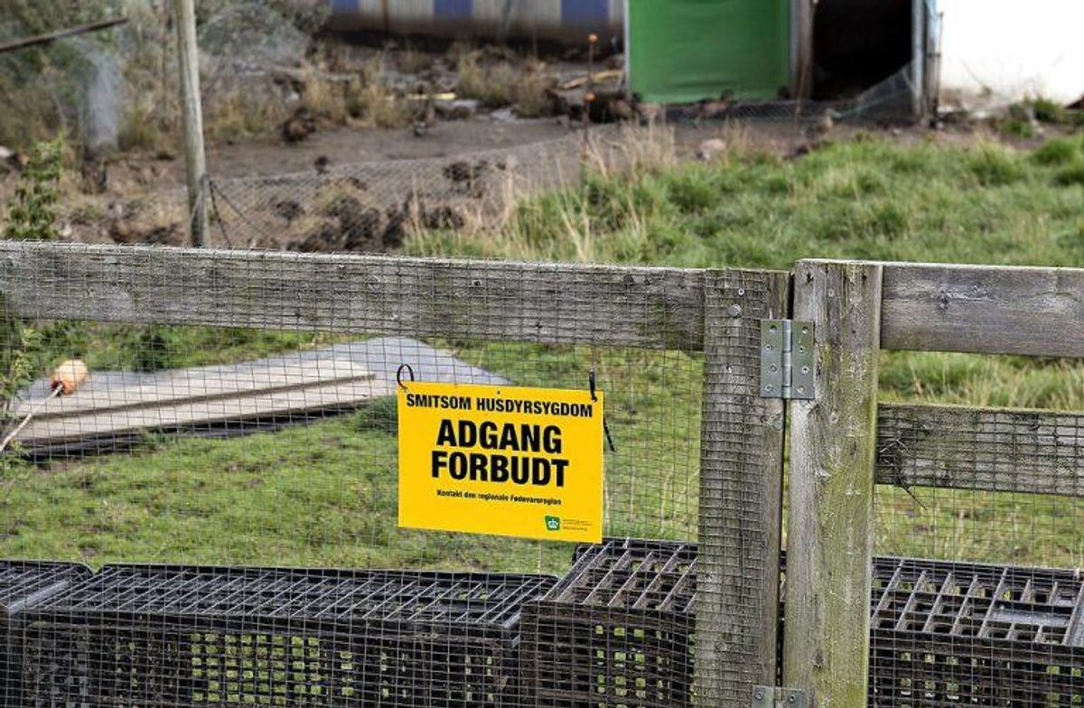 Er en hønsegård først ramt af fugleinfluenza, er det allerede gået helt galt. Foto: Henning Bagger/Scanpix 2016