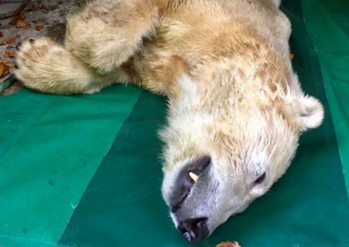 Isbjørnen Vilma er død efter blot to uger i Aalborg Zoo. Foto: Aalborg Zoo.