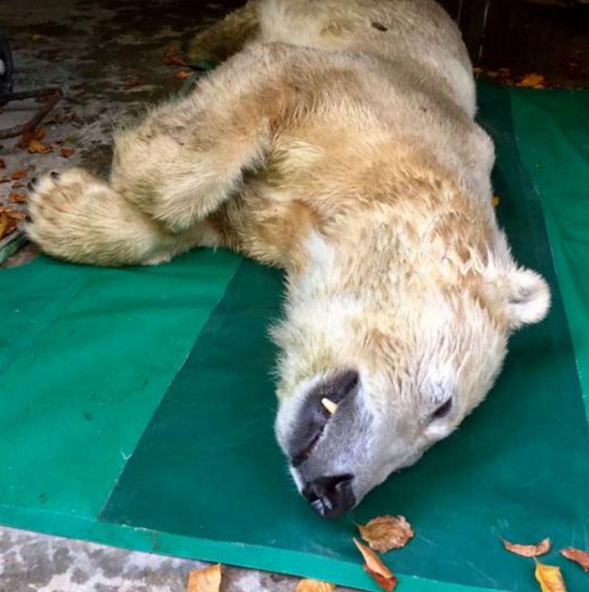 Isbjørnen Isbjørnen Vilma er død efter blot to uger i Aalborg Zoo. Foto: Aalborg Zoo.