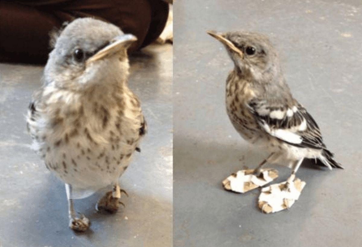 Den lille fugl blev behandlet, så den igen kunne gå. Foto: California Wildlife Center