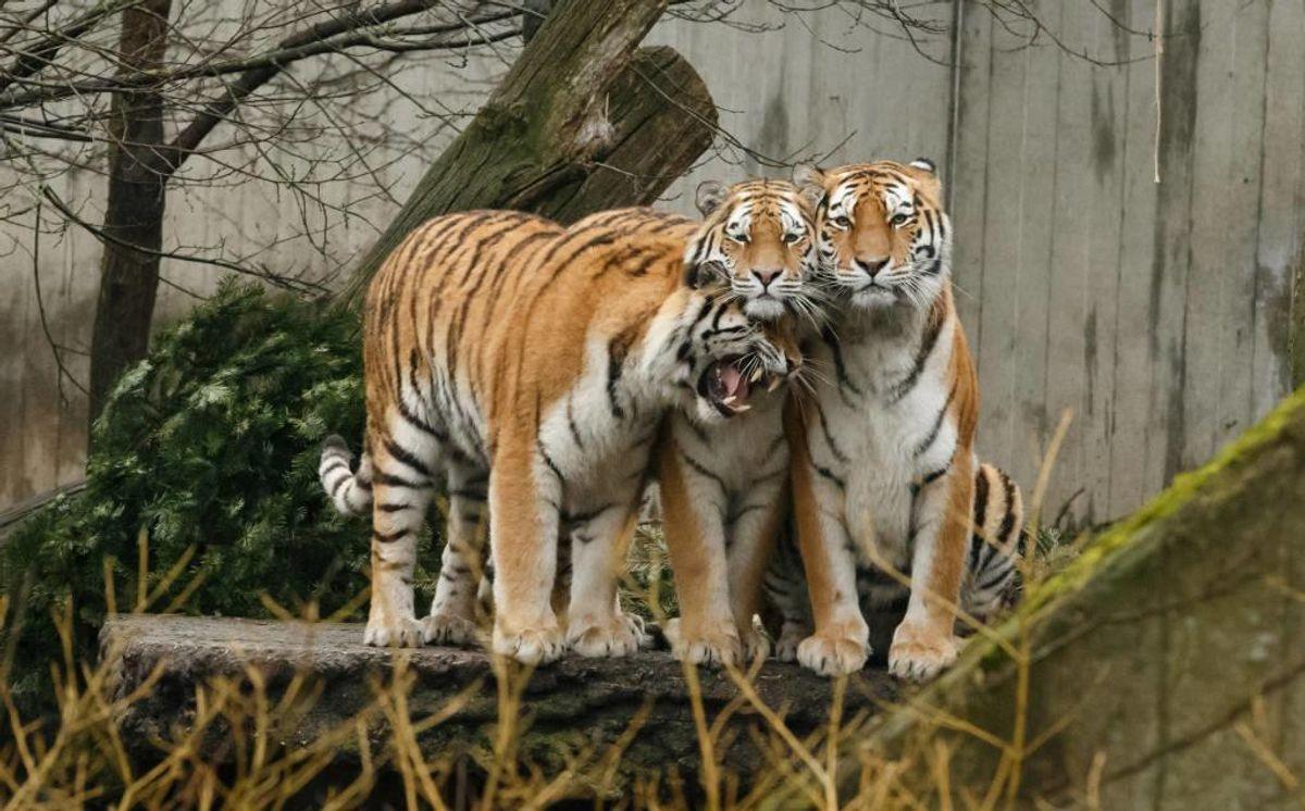 Københavns Zoo er meget opmærksom på sikkerheden for deres dyrepassere. Foto: Zoologisk Have København