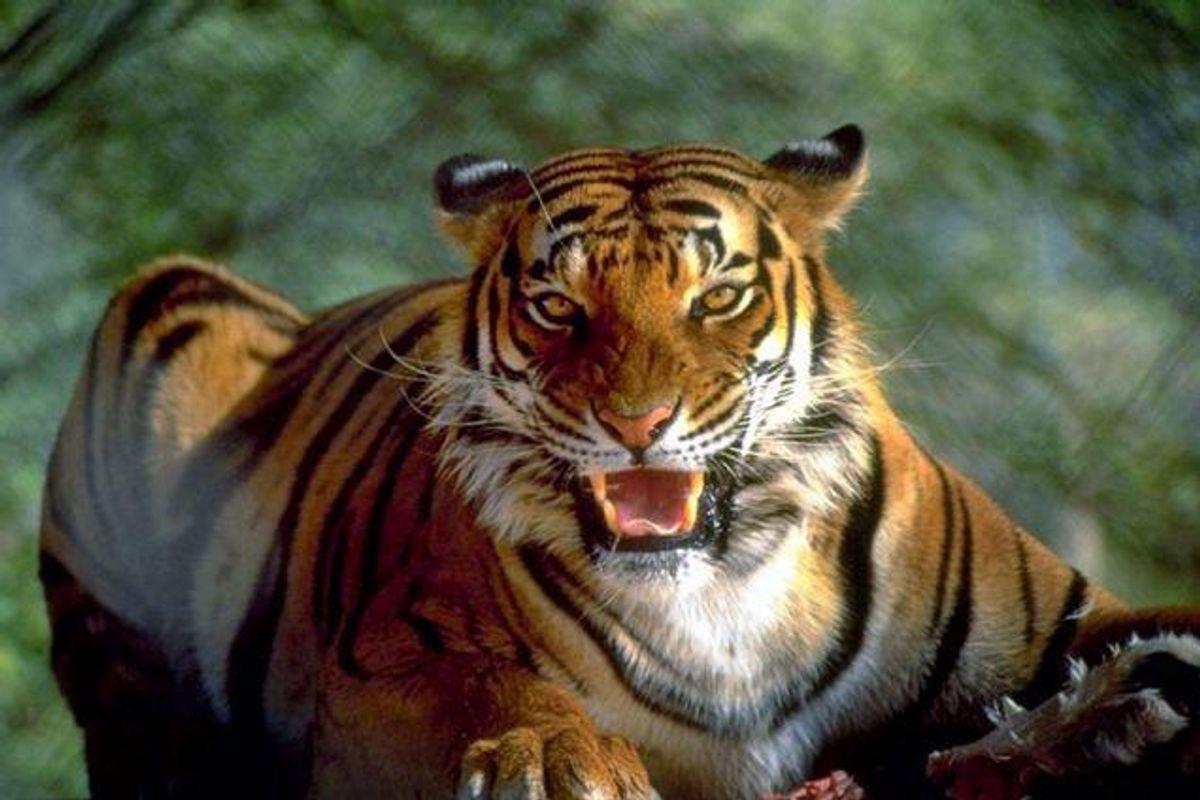 Tigerangreb har kostet to dyrepassere livet fredag. Foto: Colourbox/Free