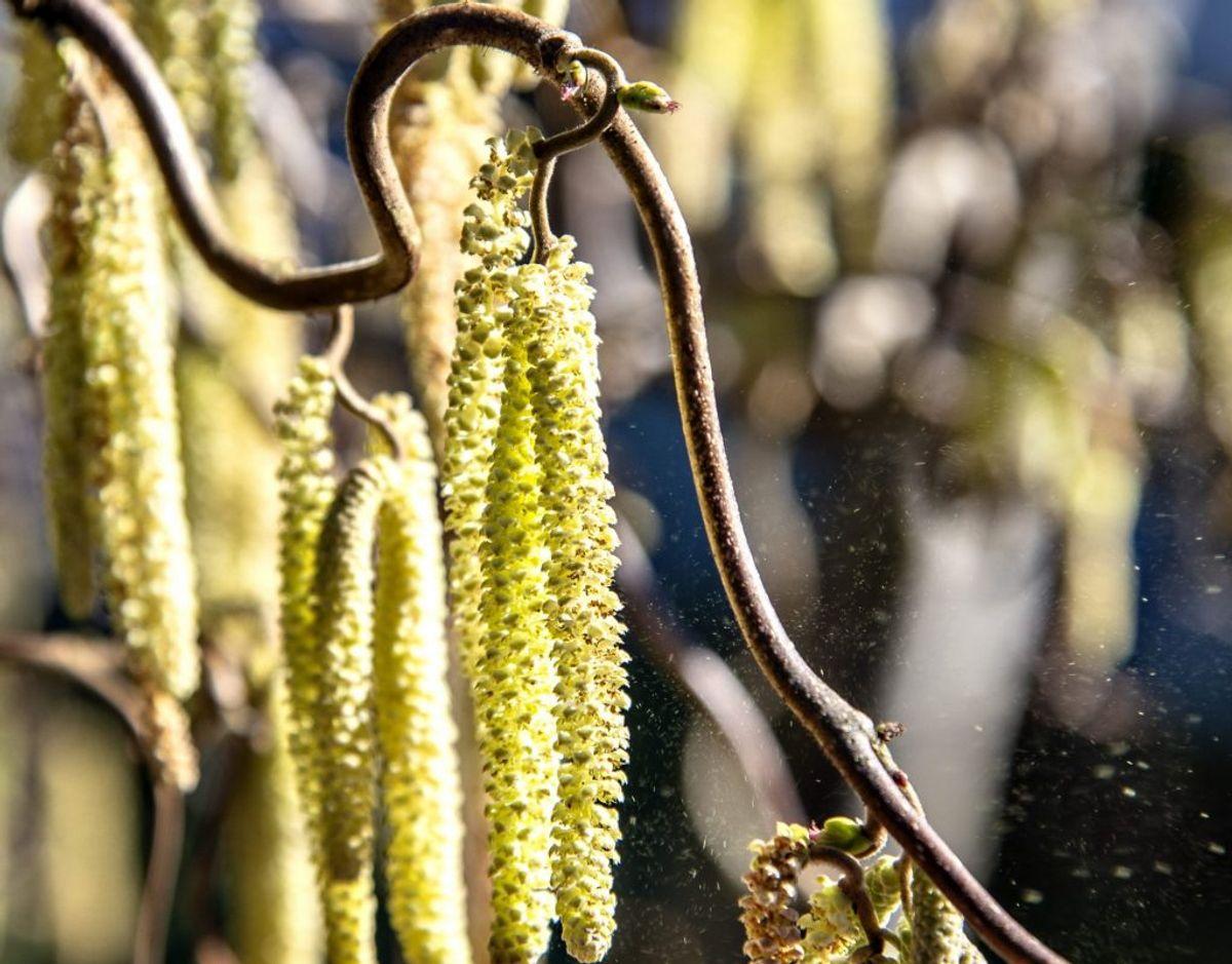 Pollen sidder på træets rakler, der er lange blomsterstande. Her ses hassel. Foto: Henning Bagger/Ritzau Scanpix