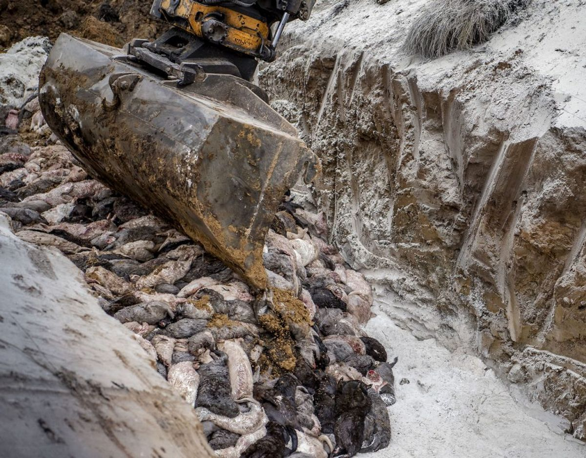 Det er døde mink som disse, der nu lander i forbrændingsanlægget i Esbjerg. (Foto: Morten Stricker/Ritzau Scanpix)