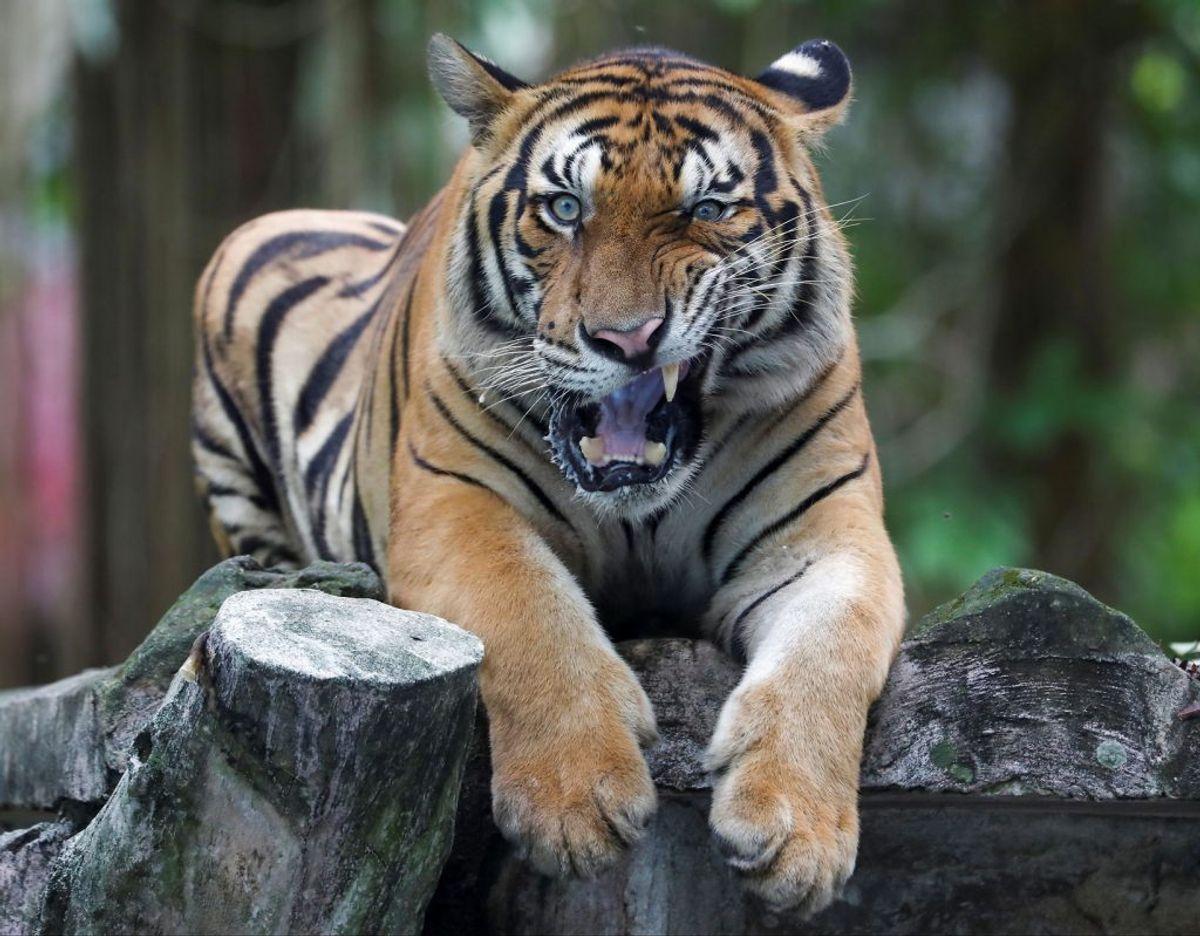 Politiet er ude efter Jeff Lowe's store kattedyr. Seks tigere er nu konfiskeret (genrefoto). Foto: Lim Huey Teng/Reuters