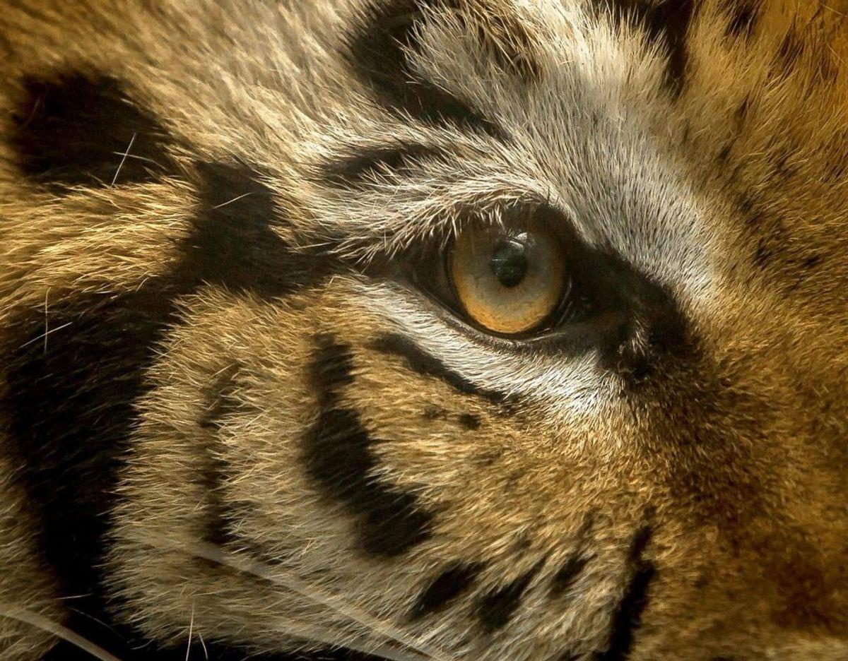 Tigeren er nu i god behold. Foto: Scanpix/RASHIDE FRIAS