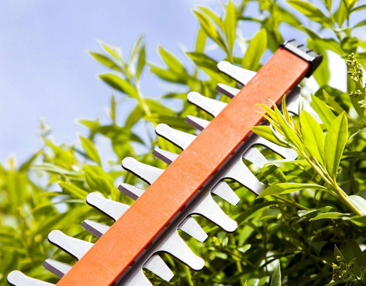 Husk at have fokus på at insekter og fugle trives i haven ved at lade hæk og buske blomstre af, inden de trimmes. Foto: Scanpix.