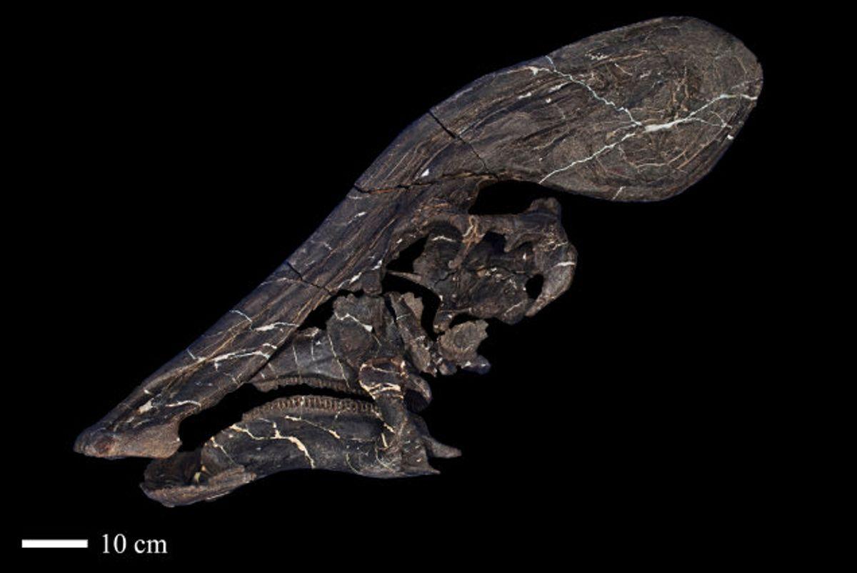Ud fra dinosaurens knogler fra kraniet mener forskerne, at denne art var meget snakkesalig. Foto: Handout/Reuters