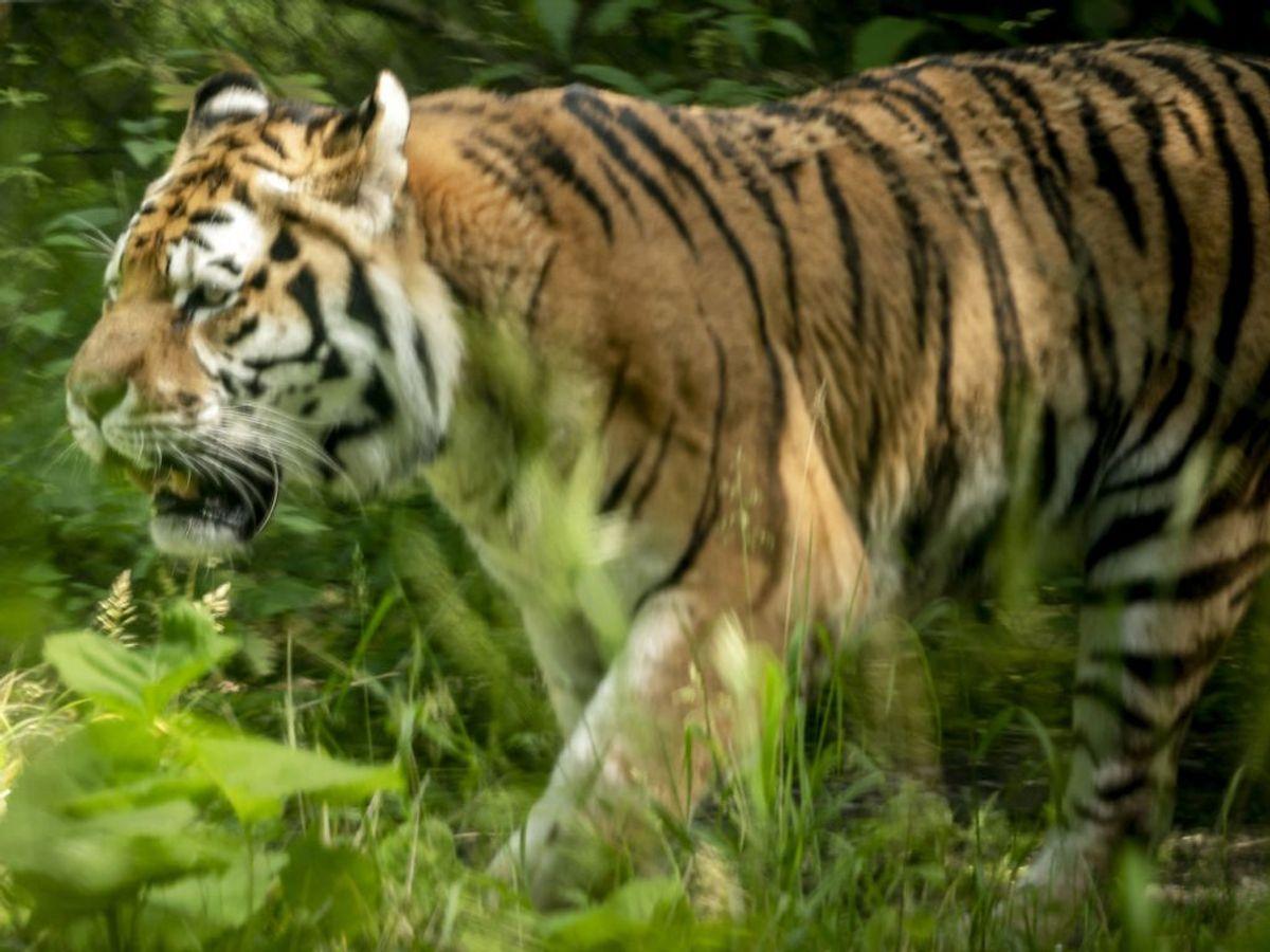 1. juni åbner en ny tigerskov i Knuthenborg Safaripark. Foto: Mads Claus Rasmussen/Scanpix.