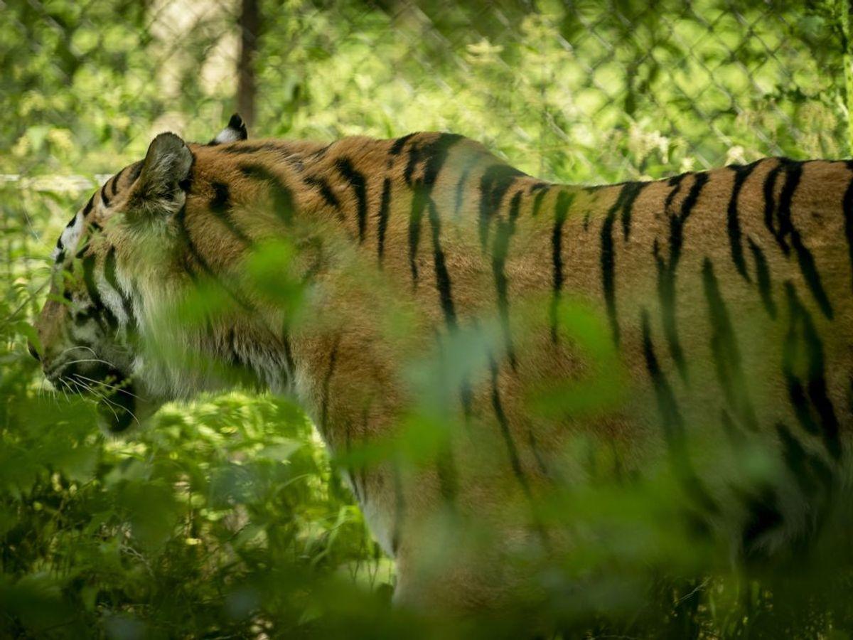 Dyrene skal have et værdigt otium. Foto: Mads Claus Rasmussen/Scanpix.