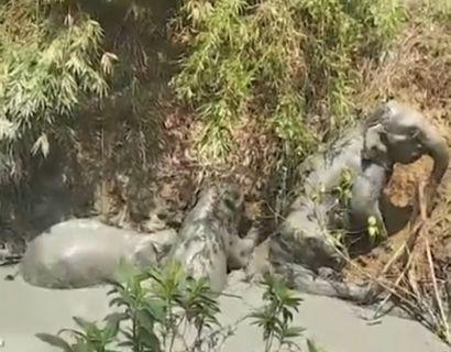 Fire elefanter blev fanget i et hul med mudder. Foto: Ritzau/Scanpix.