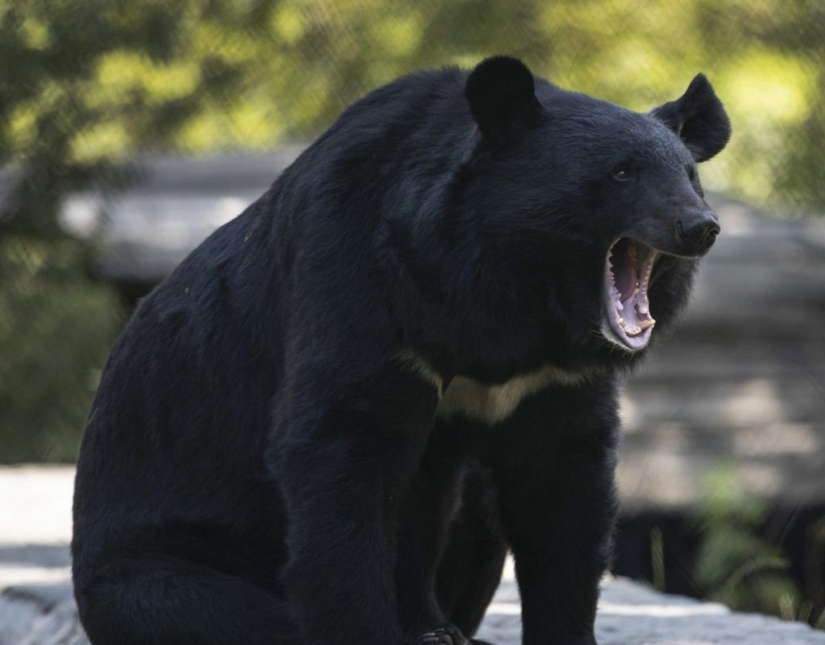 Det var en sortbjørn, der tilsyneladende havde i sinde at aflægge Hailey Morinico besøg i hendes have. Det fik han dog ikke lov til. Han blev i stedet skubbet væk af pigen. (Arkivfoto) – Foto: Mukhtar Khan/Ritzau Scanpix