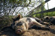 Fandt afskårne svinehoveder i et bur