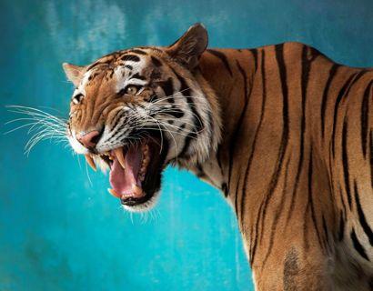 Politiet er ude efter Jeff Lowe's store kattedyr. Seks tigere er nu konfiskeret (genrefoto). Foto: Alexandre Meneghini/Reuters/Ritzau Scanpix