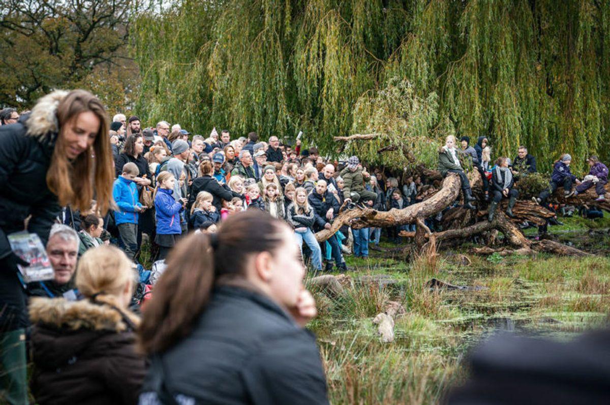 """Der er størst interesse for udspringet i Magasindammen under Hubertusjagten 2019 i Dyrehaven ved Klampenborg, søndag den 3. november 2019. Hubertusjagten er en symbolsk videreførelse af de gamle parforce-jagter, som Dyrehaven oprindeligt er anlagt til. Her lod man hunde støve ræven op, og feltet fulgte hunde og ræv. I dag er der ingen jagthunde, og ræven er erstattet af to """"forlorne"""" ræve i form af to erfarne ryttere, som rider forrest med rævehaler på deres røde ridejakker. Jagten er ca. 11 km lang og tager 1½ time.. (Foto: Niels Christian Vilmann/Ritzau Scanpix)"""
